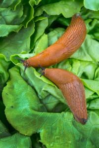 zwei Nacktschnecken fressen Salat