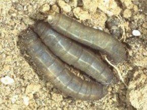 SC Nematoden - Biologische Schädlingsbekämpfung - ca. 6 Mio. - 2